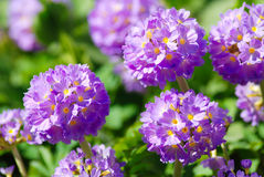Violet primula flowers in the garden. On a sunny day Royalty Free Stock Photos