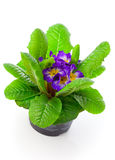 Violet primula Stock Photography