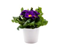 Violet primula in white pot. Isolated over white background Stock Image