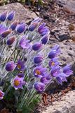 Violet pulsatilla flowers with rocks in the background. Pulsatilla is a plant from the family of perennials. Grows in North America, Europe and Asia. Valued as Stock Image