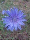 Violet purple blue flower garden Royalty Free Stock Photo