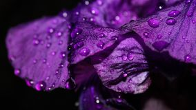 Violet, Purple, Dew, Water Royalty Free Stock Images