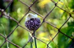 Violet, purple. Flower of garlic. Croatia. Stock Image