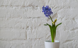 Violet purple flower in white flower pot. Violet purple hyacinths in white flower pot brick wall background Stock Image