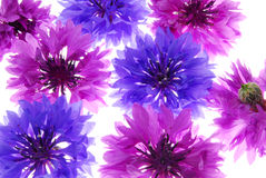 Violet and purple flowers Royalty Free Stock Photo