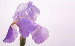 Violet  Purple Flowers. Large Purple  petals Royalty Free Stock Photos