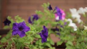 Violet purple flowers, petunia stock video