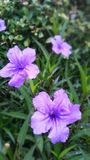 Violet Purple flowers, Waterkanon. Easily growing, seeds can burst when wet, bloom all day in tropical weather Royalty Free Stock Images