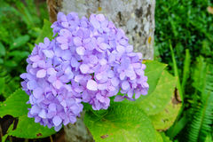 Violet Purple Hydrangea Royalty-vrije Stock Foto