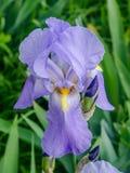 Violet, purple iris flower Stock Photography