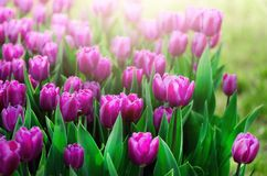 Violet, purple, lilac tulips background. Summer and spring concept, copy space. Tulip flowers field in sunlight. Soft. Selective focus. Spring landscape Stock Photos