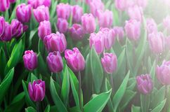 Violet, purple, lilac tulips background. Summer and spring concept, copy space. Tulip flowers field in sunlight. Soft. Selective focus. Spring landscape Royalty Free Stock Image