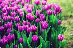 Violet, purple, lilac tulips background. Summer and spring concept, copy space. Tulip flowers field in sunlight. Soft. Selective focus Royalty Free Stock Image
