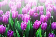 Violet, purple, lilac tulips background. Summer and spring concept, copy space. Tulip flowers field in sunlight. Soft. Selective focus Stock Photography