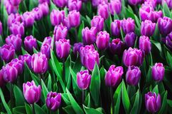 Violet, purple, lilac tulips background. Summer and spring concept, copy space. Tulip flowers field in sunlight. Soft. Selective focus Royalty Free Stock Images
