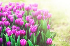 Violet, purple, lilac tulips background. Summer and spring concept, copy space. Tulip flowers field in sunlight. Soft. Selective focus Stock Image