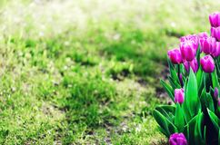 Violet, purple, lilac tulips background. Summer and spring concept, copy space. Tulip flowers field in sunlight. Soft. Selective focus Royalty Free Stock Photos