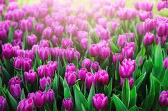 Violet, purple, lilac tulips background. Summer and spring concept, copy space. Tulip flowers field in sunlight. Soft. Selective focus. Spring landscape Royalty Free Stock Photo