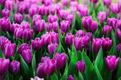 Violet, purple, lilac tulips background. Summer and spring concept, copy space. Tulip flowers field in sunlight. Soft. Selective focus. Spring landscape Royalty Free Stock Photos