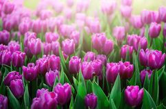 Violet, purple, lilac tulips background. Summer and spring concept, copy space. Tulip flowers field in sunlight. Soft. Selective focus. Spring landscape Stock Images