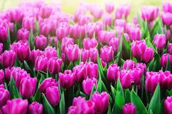 Violet, purple, lilac tulips background. Summer and spring concept, copy space. Tulip flowers field in sunlight. Soft. Selective focus Royalty Free Stock Photo