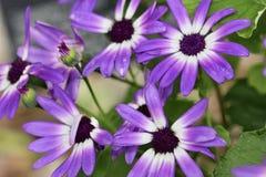 Violet purple little daisy macro stock photo