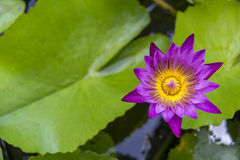 Violet Purple lotus. In natural pool Royalty Free Stock Photography