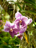 Violet purple orchid – rare kind of phalaenopsis Stock Photos