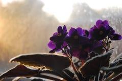 Violet, Purple, Plant, Flower Royalty Free Stock Image