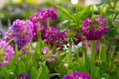 Violet and purple primula flowers Stock Images