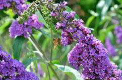 Violet and purple summer lilac with butterfly Stock Image