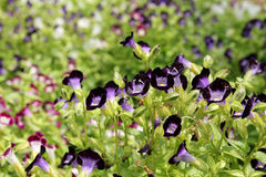 Violet and purple Wishbone flower Stock Photography