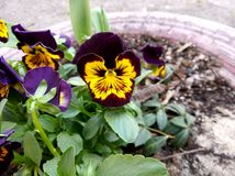 Violet or purple and yellow flower with green leafes on the street at spring. Violet purple yellow flower green leafes street spring stock image
