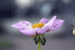 Violet rare dahlia Stock Image