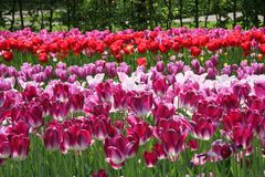 Violet and red tulips in flowers field. stock photos