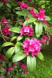 Violet rhododendron Royalty Free Stock Images