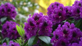 Violet rhododendron on a blurred background.. Color correction. stock video footage