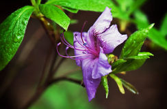 Violet Rhododendron Stock Image