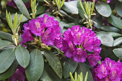 Violet rhododendron flowers stock photo