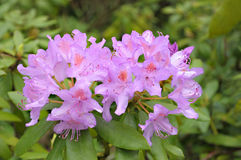 Violet rhododendron royalty free stock photos