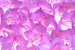 Violet rhododendron petals Stock Photography