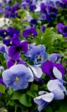 violet riot Zdjęcia Stock