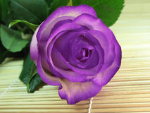 Violet rose Stock Photography