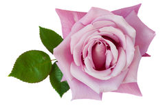 Violet rose Royalty Free Stock Photos