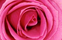 violet rose Obrazy Royalty Free