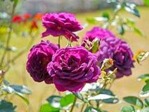 violet rose Fotografia Royalty Free