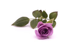 Violet rose Royalty Free Stock Photography