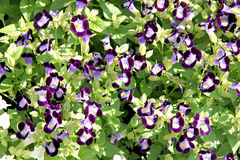 Violet Rose Balsam. imagens de stock royalty free
