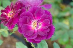 Violet rose Royalty Free Stock Photo