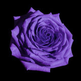 Violet rose flower  black isolated background with clipping path.  Closeup no shadows. Stock Images